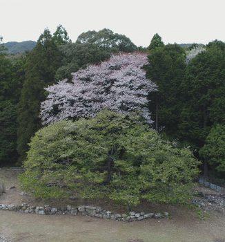 樹齢約350年のオオシマザクラ
